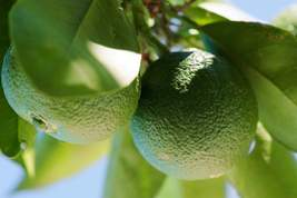 Persian Lime Citrus Fruit Tree Aka Tahiti 3' Grafted - $54.99