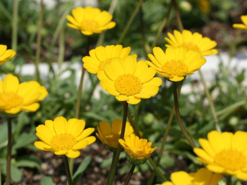 2000 Yellow Daisy Wildflower Flower Seeds - $7.99