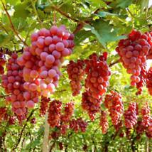 50 Stück gemischte Weintrauben Samen vinifera Delicious Frische Frucht- ... - $2.21