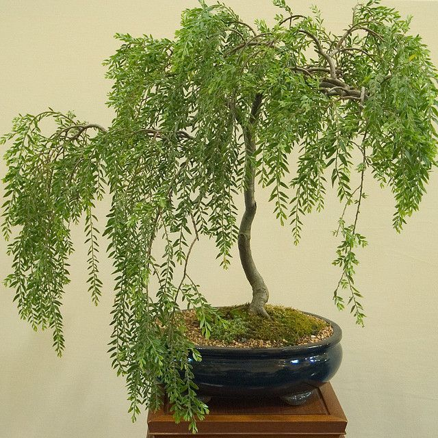 Primary image for Live Plant Bonsai Tree Dwarf Weeping Willow Best Gift Houseplant Indoor