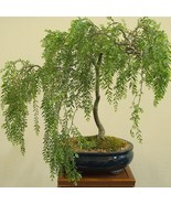 Live Plant Bonsai Tree Dwarf Weeping Willow Best Gift Houseplant Indoor - $82.00