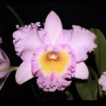 Blc. Mahina Yahiro 'Julie'. CATTLEYA Orchid Plant Pot BLOOMING SIZE 0409w - $38.69