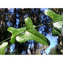 Greenbrier Smilax auriculata Organic 10 Seeds GTL09 - $40.17