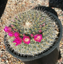 Mammillaria specimens Cactus Must See - $24.95