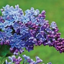 50 Blue Purple Lilac Seeds Tree Fragrant Hardy Flower Perennial Shrub - TTS - $23.95