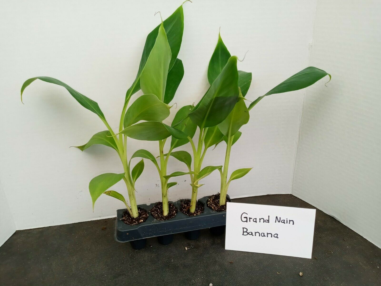 Primary image for Grand Nain Banana 4 starter plants free shipping from BEST NURSERY ONLINE