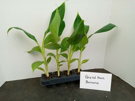 Grand Nain Banana 4 starter plants free shipping from BEST NURSERY ONLINE - $33.75