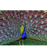 Peacock  Home Decor Canvas Print A4 Size (210 x 297mm) - $4.37