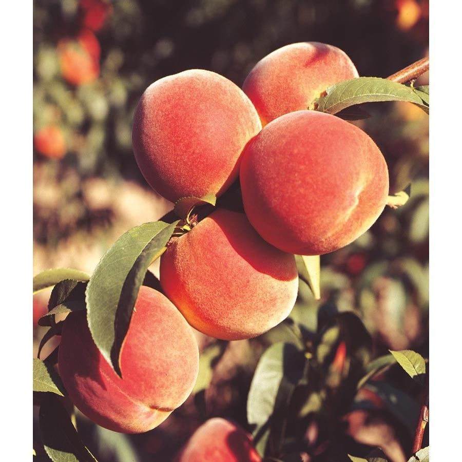 Primary image for June Gold Peach Tree Hardy  Established  1 Gallon Pot 1 Plant