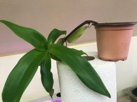1 Pcs Green Basket plant Callisia fragrans Plant in Pot  Rare Easy - $32.99