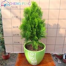 50pcs Cypress Trees Platycladus Orientalis (5), HZ Beautiful Flower Seeds - $8.89