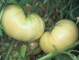 2000 Seeds of Great White - Tomatoes White - $59.40