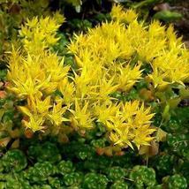 Sedum Oregon Stonecrop Succulent Seeds (Sedum Oreganum) 50+Seeds - $4.99+
