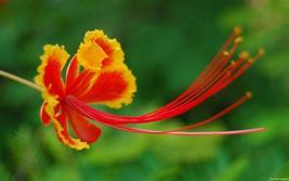 CAESALPINIA PULCHERRIMA Pride of Barbados 100 seeds - $82.99