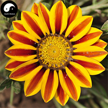 Buy Medal Chrysanthemum Flower Seeds 60pcs Plant Gazania Rigens Flower G... - $5.99