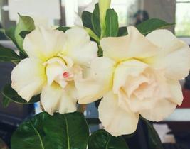 2pcs Beautiful Saint Huang Adenium Desert rose yellow pink with orange IMA1 - $14.99