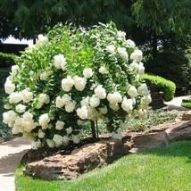 Hydrangea Paniculata Seeds - $8.89