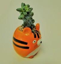 """Donkey's Tail Succulent in Tiger Planter, Sedum Morganianum 2"""" Orange Ceramic image 4"""