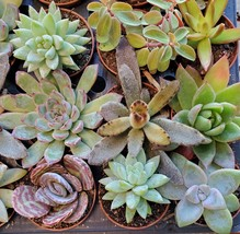 """Succulent Mystery Box, set of 3 live plants, 2"""" Assorted Variety Valentines Gift image 3"""