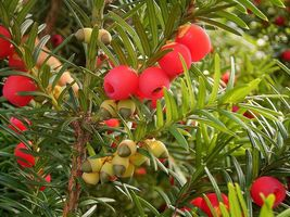 English Yew, Taxus baccata, 10 Tree Seeds (Evergreen, Topiary, Bonsai) - $10.99