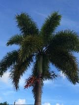 2 pcs Foxtail Palm tree plant live 6''-9'' Outdoor Living - $45.00