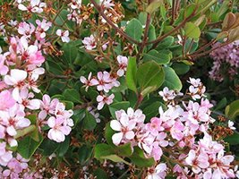 Indian Hawthorn Aka Rhaphiolepis I. 'Clara' Live Plant Fit 05 Gallon Pot - $29.99