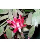 "Christmas Cactus plants -  bare root -   2"" to 4"" -- pink Flowers  - 2 plants  - $12.00"