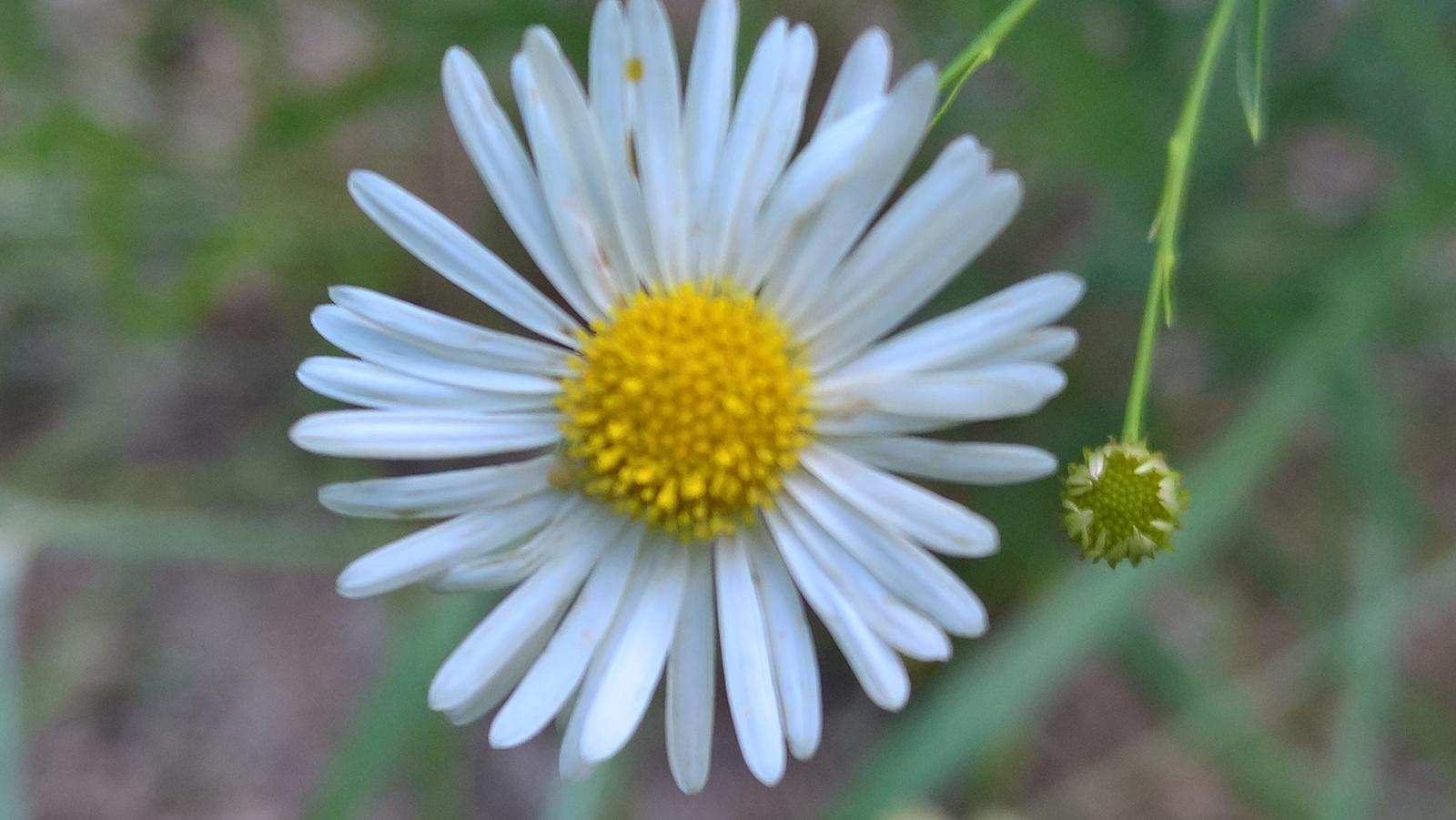 Organic Boltonia, False Aster, Butterflies, Pollinators