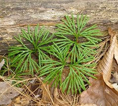 30 Live Plants - Creeping Tree Club Moss - Great for Terrariums,Aquarium... - $42.47