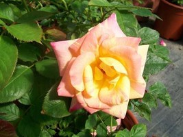Jacob's Robe Yellow Pink Red Climber Rose 3 Gal Plants Large Double Blooms Roses - $53.30