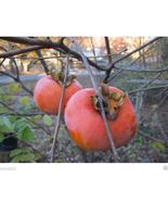 SHIPPED From US_Japanese Persimmon 25 Seed-Asian Persimmon Diospyros kak... - $34.99
