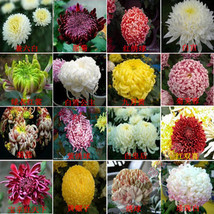 200pcs mixed Flower seeds chrysanthemum four seasons plant seeds for hom... - $5.49