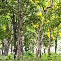 SHIP FROM US Sandalwood Tree Seeds (Santalum album) 40+Seeds UDS - $36.68