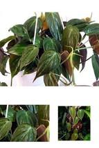 "Plant Rare Velvet Leaf Bronze Micans Vine Indoor Easy to Grow 4""Pot Best... - €14,78 EUR"