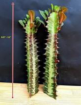 Euphorbia Trigona red color leaves - 2 Cuttings - $39.66