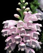 40+ PINK OBEDIENT PLANT FALSE DRANGON  FLOWER SEEDS/PER - £4.03 GBP