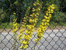 Organic Native Plant, Slender Goldenrod, Solidago erectus - $3.50
