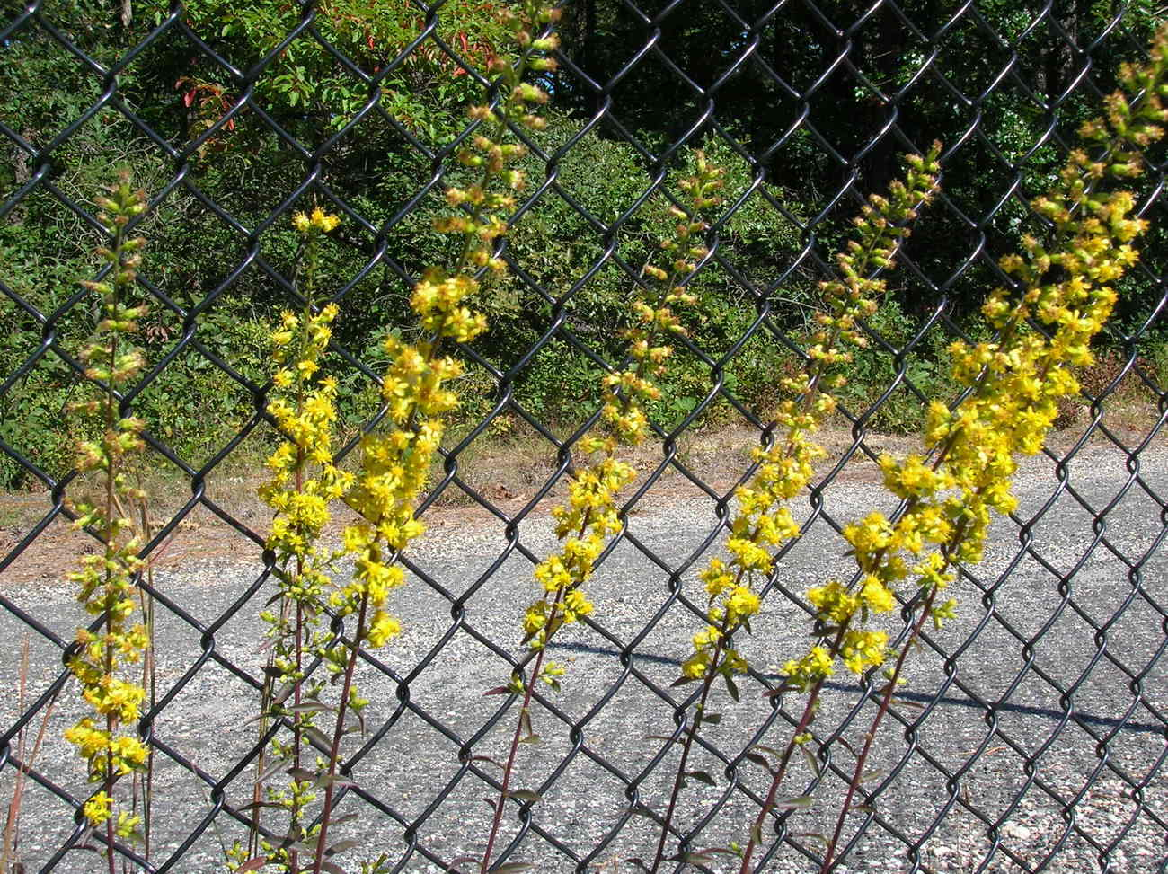 Organic Native Plant, Slender Goldenrod, Solidago erectus