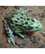 Leopard Frog 3 inches - $121.00