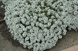 Non GMO Alyssum, Sweet Tall Flower Seeds Lobularia maritima (20 Lbs) - $732.60