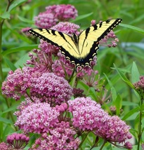 Pink Milkweed Cinderella MONARCH ASCLEPIAS INCARNATA HOST PLANT Cut Back - $25.99