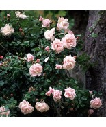 New Dawn White Pink Climbing Rose Plant Flower Seeds 50 Seed/Pack Light ... - $5.90