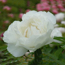 'Bai Dew' Snow-white Peony Tree Flower Seeds, 5 Seeds / Pack Fragrant - $13.03