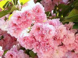 Kwanzan Flowering Cherry tree 2 plants image 5