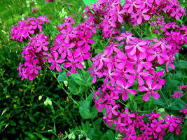 100 Pcs Pink None-So-Pretty Seed, Catch Fly Seeds, Heirloom Flower, Annu... - $13.99