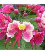 CAESALPINIA PULCHERRIMA Pride of Barbados pink 50 seeds - $50.34