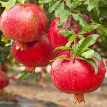 Punica granatum - Afganski Russian Pomegranate Live Plant -Garden Outdoor Living - $51.99
