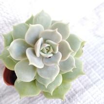 "LIVE SUCCULENT, Echeveria Lola, 2"" succulents, rosette echeveria succulent plant"