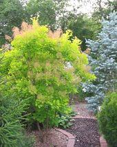 Cotinus Golden Spirit Smokebush Tree Live Plant Trade Gallon Pot - $63.99