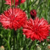 Tall red cornflower 100 fresh seeds centaurea cyanus - $3.23